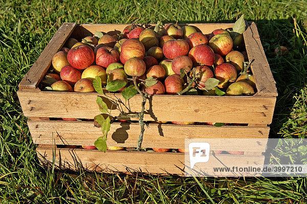 Frisch gepflückte Bio-Äpfel in einer Holzkiste  Eckental  Mittelfranken  Bayern  Deutschland  Europa