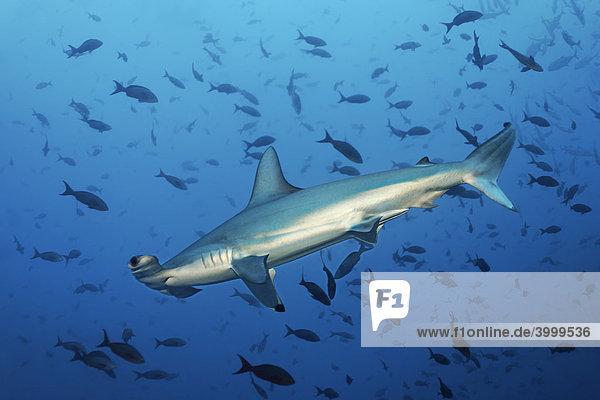 Hammerhai (Sphyrna lewini) im Blauwasser mit Fischen  Insel Cocos  Costa Rica  Mittelamerika  Pazifik