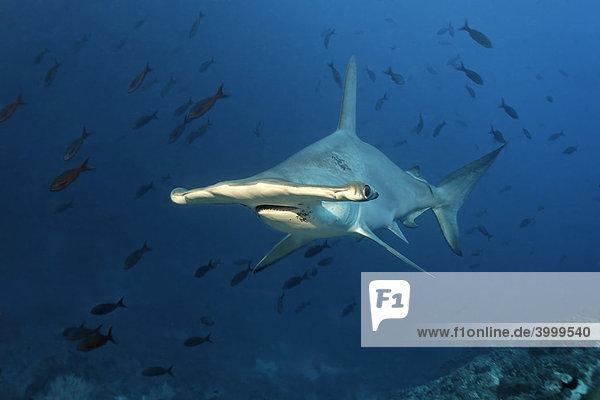 Hammerhai (Sphyrna lewini) im Blauwasser  Insel Cocos  Costa Rica  Mittelamerika  Pazifik
