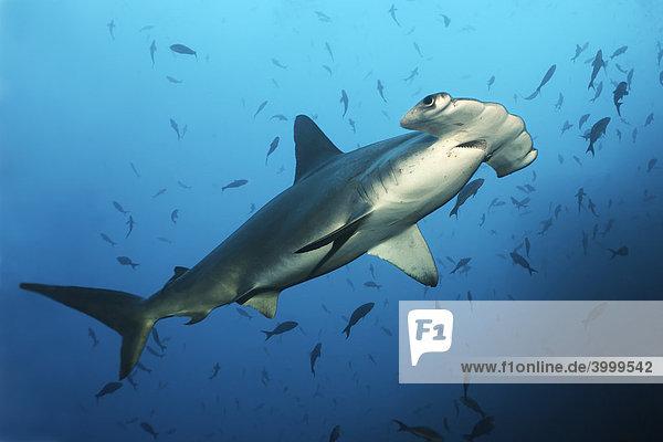 Hammerhai (Sphyrna lewini)  schwimmt über Riff  Fische  Insel Cocos  Costa Rica  Mittelamerika  Pazifik