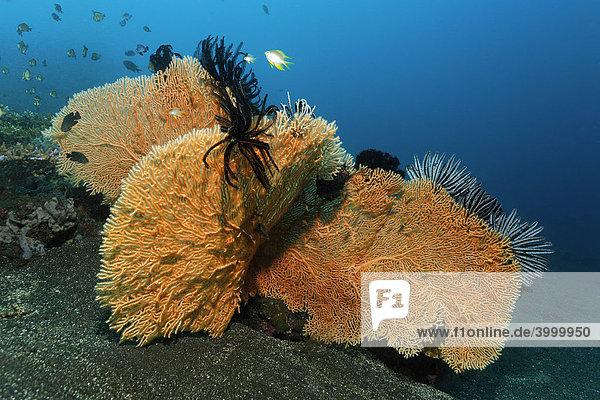 Drei Korallenfächer (Annella mollis) mit Federsternen  Gorgonie  Hornkoralle  Sandgrund  Bali  Kleine Sundainseln  Bali See  Indonesien  Indischer Ozean  Asien