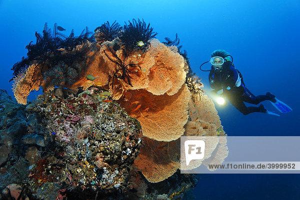Korallenfächer  Gorgonie (Anella reticulata)  Taucher  Federsterne  Korallenriff  Schwamm  Bali  Kleine Sundainseln  Bali See  Indonesien  Indischer Ozean  Asien