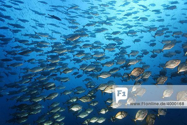 Fischschwarm Schwarzflossen Makrelen (Uraspis secunda) schwimmt im offenen Meer  pelagisch  Blauwasser  Darwin Island  Galapagos Archipel  Unesco Weltnaturerbe  Ecuador  Südamerika  Pazifik
