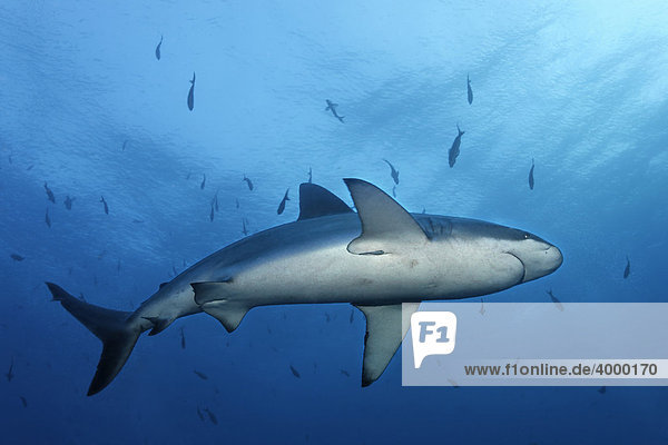 Galapagos Hai (Carcharhinus galapagensis) schwimmt im Blauwasser  von unten  Darwin Island  Galapagos Archipel  Unesco Weltnaturerbe  Ecuador  Südamerika  Pazifik