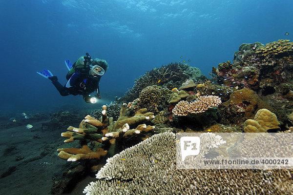 Taucher mit Lampe betrachtet Korallenriff mit verschiedenen Steinkorallen  Bali  Kleine Sundainseln  Indonesien  Indischer Ozean  Asien