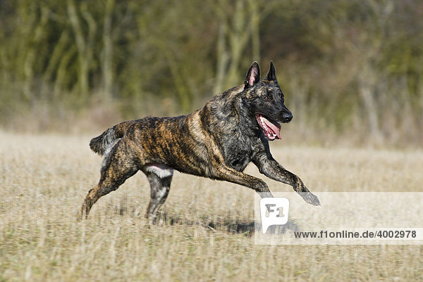 Hollandse Herdershond über Stoppelfeld rennend