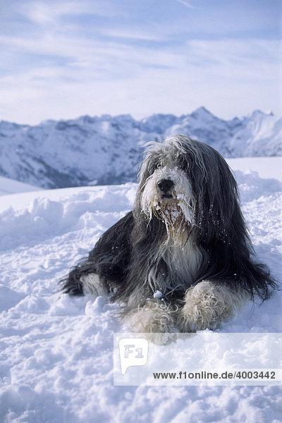 Bearded Collie liegt im Schnee  Rüde  Erfurter Hütte  Rofangebirge  Nordtirol  Österreich  Europa