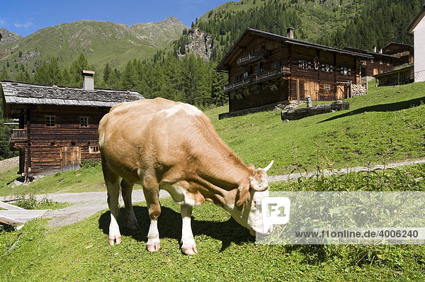 Cow on alpine pasture  Oberstaller-Alm  Innervillgraten  East Tyrol  Austria  Europe