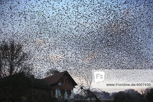 Ungefähr 4 Millionen Bergfinken überwintern im Winter 2008/2009 in einem kleinen Tal  das erste Mal in so großer Zahl  östliche Steiermark  Österreich  Europa