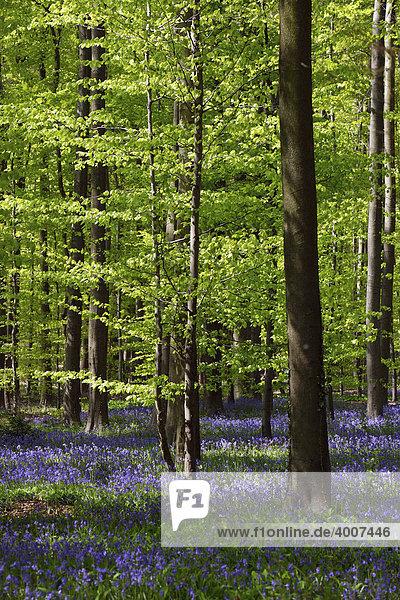 Glockenblumen im Wald von Hallebos  Belgien  Europa