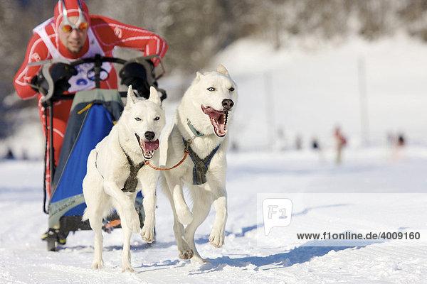 Ein Mann als Musher mit seinen Schlittenhunden der Rasse Siberian Huskys bei einem Rennen auf Schnee im Winter
