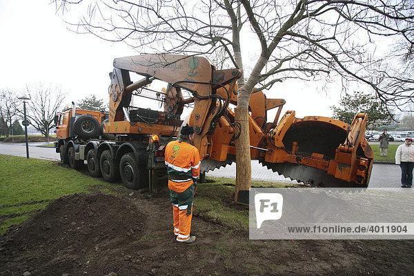 Mit Hilfe eines Spezialgeräts pflanzen Mitarbeiter einer Fachfirma am Rheinufer einen Trompetenbaum um  Koblenz  Rheinland-Pfalz  Deutschland  Europa