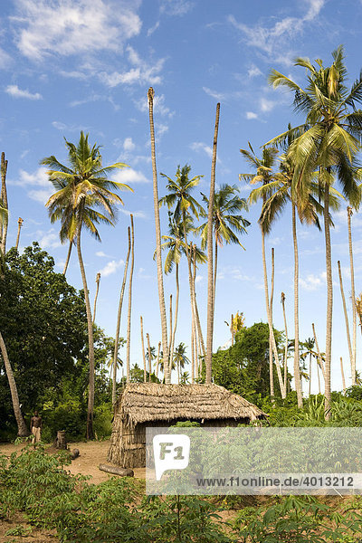 The homestead of a worker of a coconut plantation which is infected with the Lethal Yellowing Disease  Quelimane  Mozambique  Africa