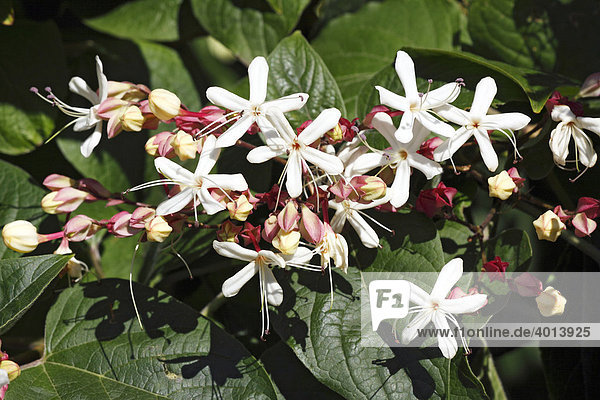 Bluhender Japanischer Losbaum Clerodendrum Trichotomum