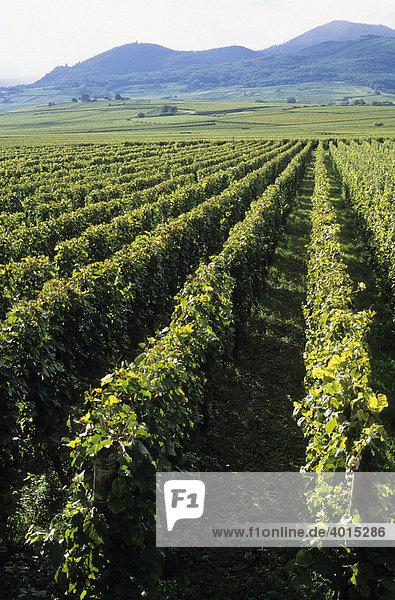 Weinberge bei RibeauvillÈ  Weinbau  Weinanbau  Weinstöcke  Elsass  Frankreich  Europa