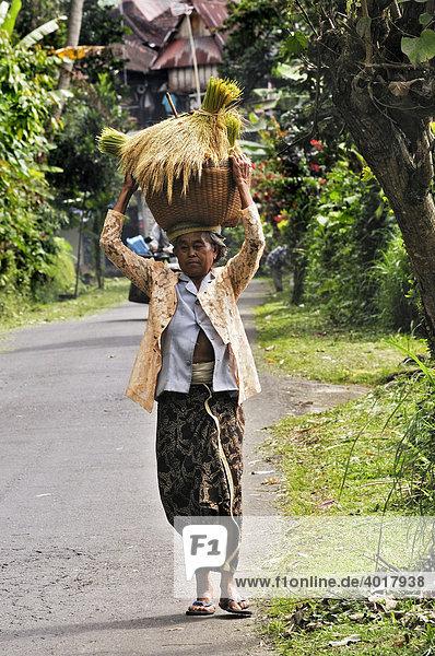 Balinesin trägt geernteten Reis  Mengwi  Bali  Indonesien  Südostasien