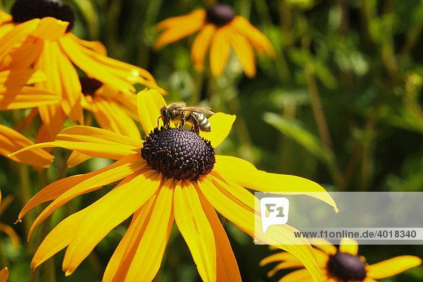 Sonnenhut (Rudbeckia speciosa) mit Biene  Deutschland  Europa