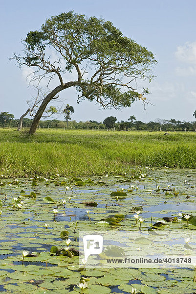 Teich mit Seerosen in der Dominikanische Republik  Punta Cana  Dominikanische Republik  Mittelamerika