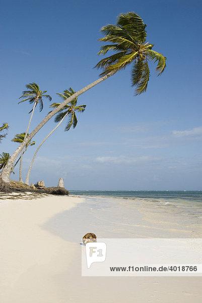 Palmenstrand mit weißem Sand und Kokospalmen (Cocos nucifera)  Punta Cana  Dominikanische Republik  Mittelamerika
