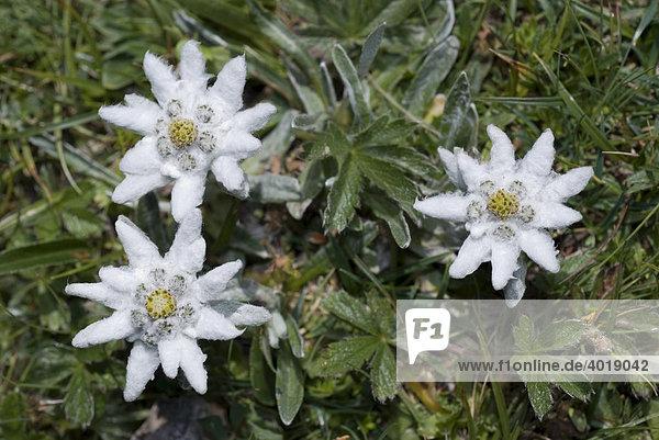 Edelweiß (Leontopodium alpinum Cass.)  Tragöss  Steiermark  Österreich  Europa