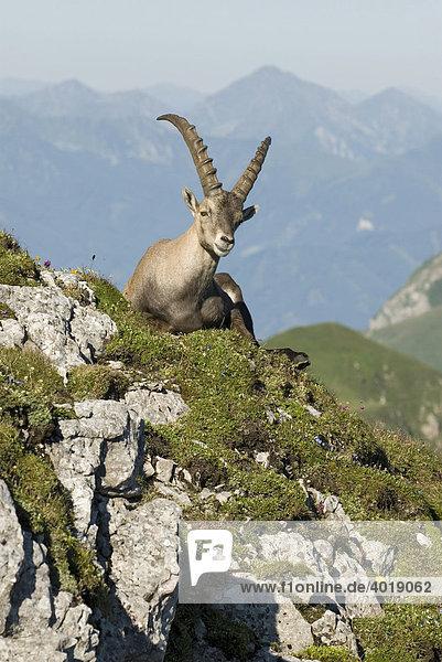 Steinbock (Capra ibex)  Eisenerz  Steiermark  Österreich  Europa
