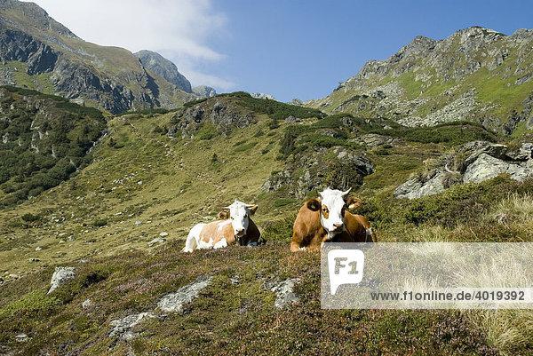 Kühe am Deneck in den Schladminger Tauern  St. Nikolei  Steiermark  Österreich  Europa