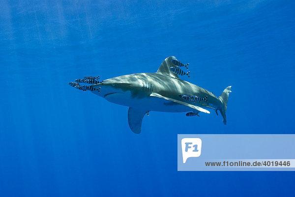 Weißspitzen-Hochseehai (Carcharhinus longimanus)  Rotes Meer  Ägypten  Afrika