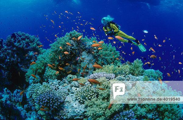Frau taucht im Meer und beobachtet die Fauna und Flora  Rotes Meer  Ägypten  Afrika