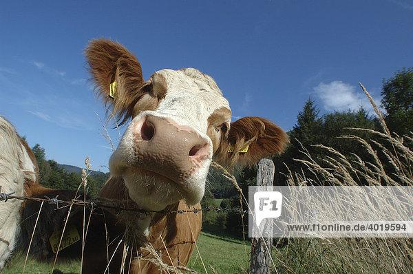 Milchkuh auf der Weide  Portrait