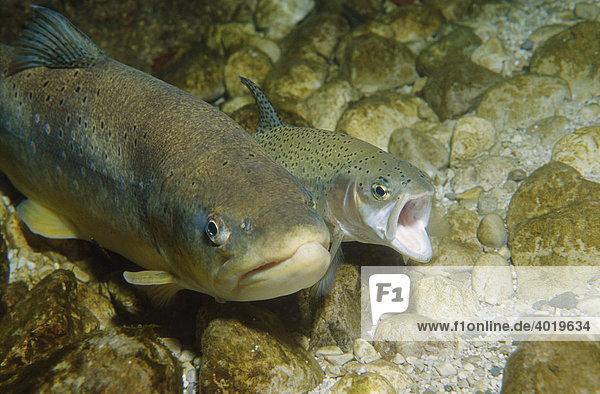 Fischpaarung  der kleine Fisch der Milchner ist eine Regenbogenforelle (Oncorhynchus mykiss) welcher sich mit der großen Forelle (Salmo trutta) Rogner paart