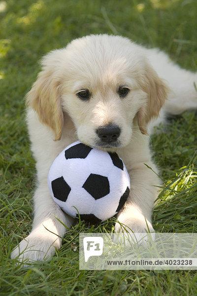 Golden Retriever Welpe mit Fußball