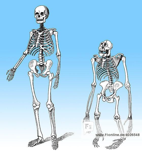 Anatomie, Beziehungen Mensch Affe, Evolution des Menschen ...