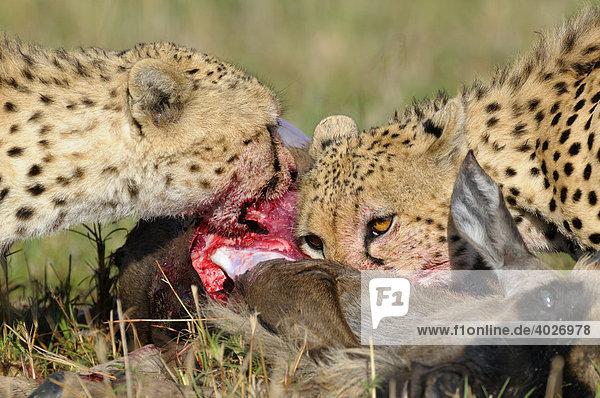 Gepard (Acinonyx jubatus)  Geparde mit Beute  Weißbartgnu (Connochaetes taurinus albojubatos)  Jungtier  Masai Mara  Nationalpark  Kenia  Ostafrika  Afrika