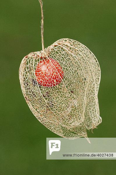 Lampionblume  Judenkirsche  Blasenkirsche (Physalis franchetii  Physalis alkekengi)  Frucht Lampionblume, Judenkirsche, Blasenkirsche (Physalis franchetii, Physalis alkekengi), Frucht