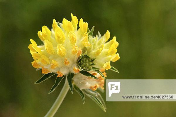 Gemeiner Wundklee (Anthyllis vulneraria)  Provence  Südfrankreich  Frankreich  Europa