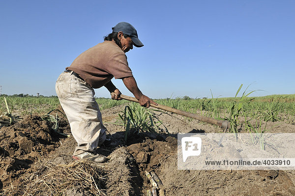 Liliputaner baut Zuckerrohr für die Produktion von Biodiesel an  Montero  Santa Cruz  Bolivien  Südamerika