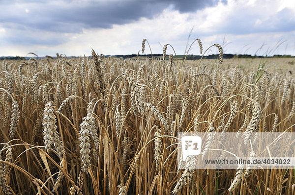 Getreidefeld  Weizen  Isental bei Dorfen  Oberbayern  Bayern  Deutschland  Europa