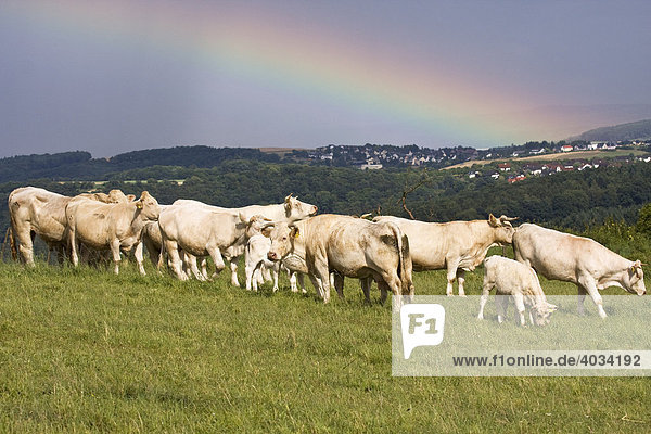 Charolais cattle herd (Bos taurus) grazing in a meadow beneath a rainbow