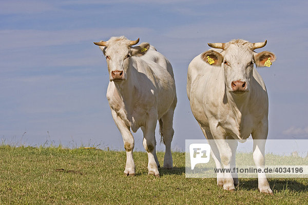 Two Charolais Cows (Bos taurus) standing in a meadow