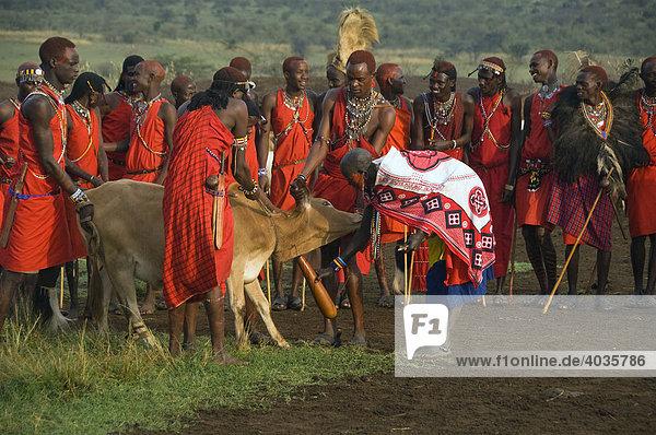 Masai Krieger und Frau  Blut von einer Kuh abzapfend  Masai Mara  Kenia  Ostafrika  Afrika