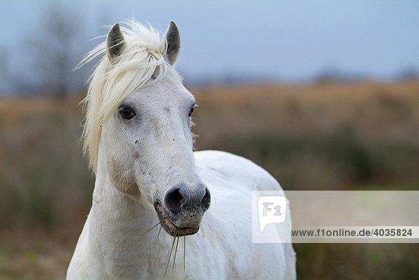 Camargue Horse  Camargue  Bouches du RhÙne  France