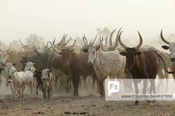 Zebu Rinder Herde (Bos primigenius indicus)  Garoua  Kamerun  Afrika Zebu Rinder Herde (Bos primigenius indicus), Garoua, Kamerun, Afrika