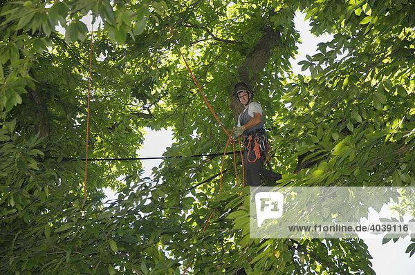 Großbaumpflege mittels Seilklettertechnik  Baumpfleger bringt Spannungsentlastungsgurt bei einer Esskastanie  Edelkastanie (Castena sativa miller) an  Windentlastung