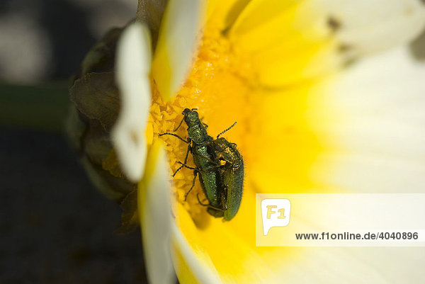 Spanische Fliege (Lytta vesicatoria) auf gelber Sonnenblume,  Paarung,  Blütenpollen,  Mallorca,  Balearen,  Spanien,  Europa