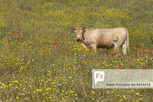 Kuh in Blumenwiese auf Sardinien  Italien  Europa