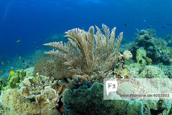 Hydroid  Zypressen-Nesselfarn (Aglaophenia cupressina)  Indonesien  Südostasien