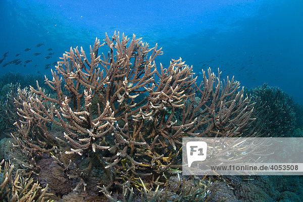 Filigrane Steinkoralle (Acropora sp) im Korallenriff  Indonesien  Südostasien