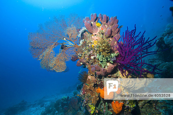 Colourful coral reef  Indonesia  South East Asia