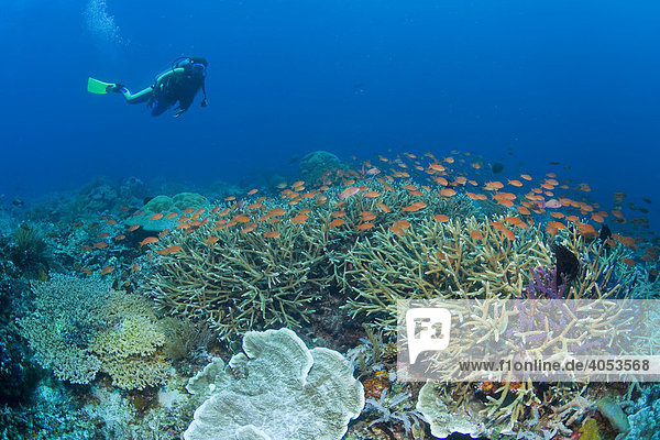 Farbenprächtiges Korallenriff  Taucher  Indonesien  Südostasien