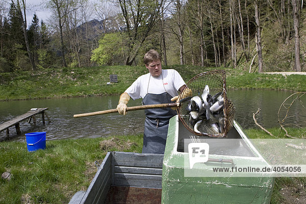 Living trout loaded into a transport container on the back of a trailer  fish farm  Styria  Austria  Europe